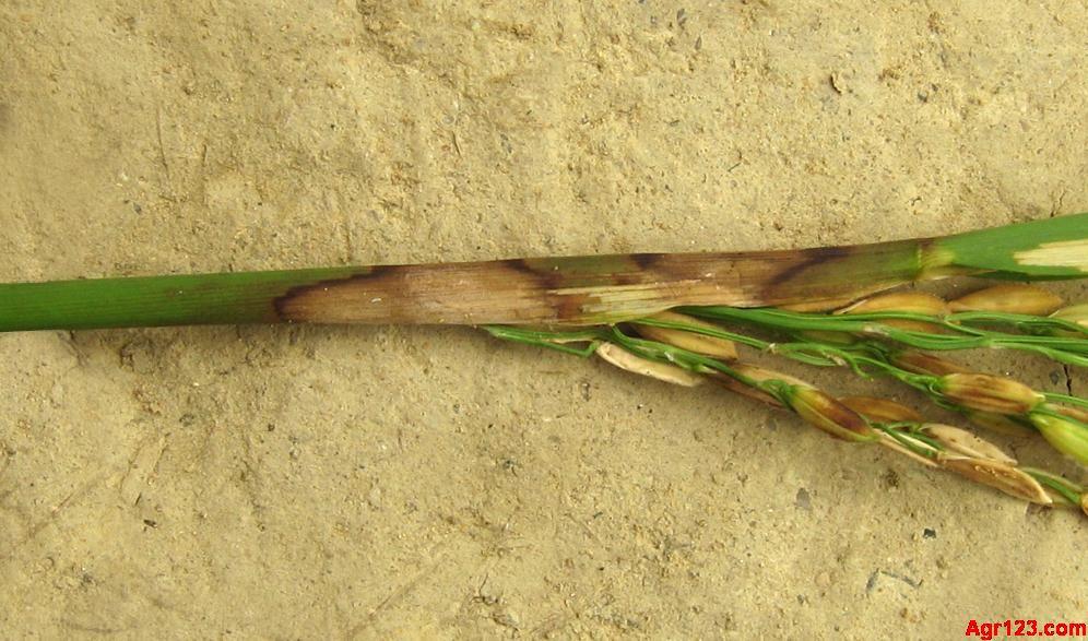 水稻叶片结构图